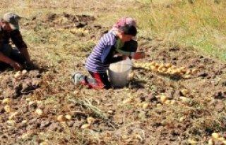 Yozgat'ta Sözleşmeli Patates Üretimi