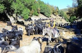 Egeli Karakeçili yörüklerinin mevsimlik göçü...
