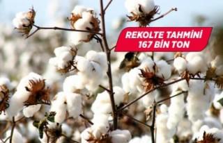 Ege Bölgesi pamuk rekolte tahmini 167 bin ton