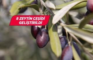 İzmir'de Dünya Zeytin Koleksiyonu'nun...