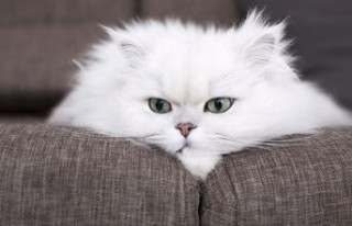 En sevimli kedi cinsleri
