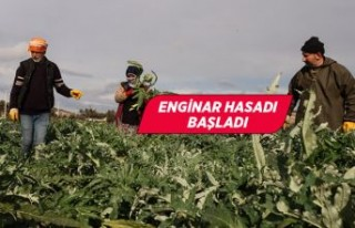 İzmir'de enginar hasadına başlandı