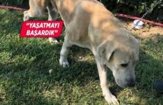 Umut kesilen köpeği Büyükşehir veterinerleri...