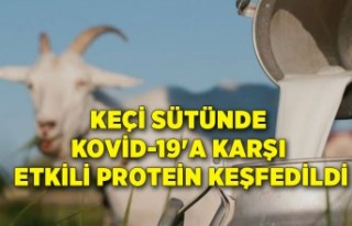 Keçi sütünde Kovid-19'a karşı etkili protein...