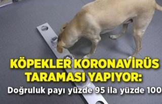 Köpekler koronavirüs taraması yapıyor: Doğruluk...