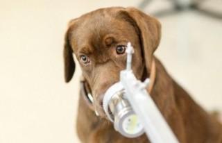 Havalimanlarında asemptomatik vakaları köpekler...