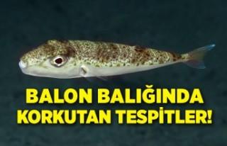 Zehriyle öldüren balon balığında korkutan tespitler