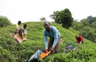 Doğu Karadeniz'e çay işçisi göçü başladı,...