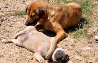 Anne Köpeğin Yürek Burkan Bekleyişi