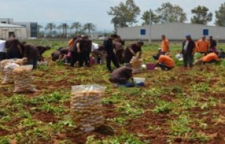Hükümlüler 60 Ton Patates Yetiştirdi