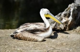 Yaralı flamingo ve iki pelikan tedavi altında