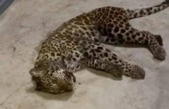 Çin'de safari parkından 3 leopar kaçtı