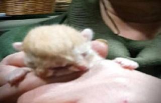 Kastamolu'da 3 Gözlü, 2 Burunlu Yavru Kedi Şaşırttı