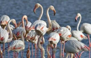İzmirli Flamingolar